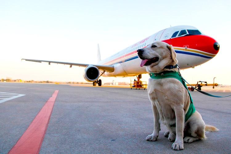 Transporte de cão-guia em aeronaves